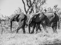 2 африканских слона Стоковые Изображения