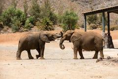 2 африканских слона Стоковая Фотография