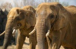 2 африканских слона Стоковое Изображение RF