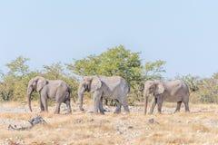 3 африканских слона, africana Loxodonta, идя Стоковое Фото