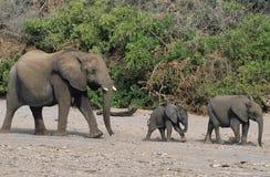 3 африканских слона (Loxodonta Africana) в ряд Стоковая Фотография RF