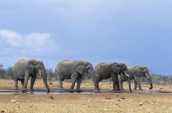 4 африканских слона (Loxodonta Africana) в ряд Стоковое Фото