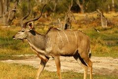 Африканское большое Kudu Bull Стоковое Фото