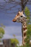 Африканское животное жирафа Стоковые Фотографии RF