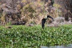 Африканское звероловство Рыб-орла для новой добычи стоковая фотография