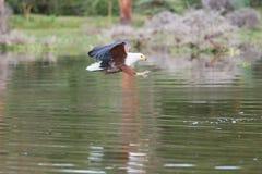 Африканское звероловство Рыб-орла стоковые изображения rf