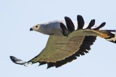 Африканское летание харриер-хоука Конец-вверх профиля птицы gymnogene Стоковые Фото