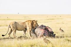 африканское наслаждаясь мясо льва гиппопотама стоковая фотография
