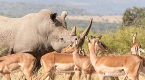 Африканское предохранение от заверителя носорога стоковые изображения rf