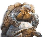 Африканское пришпоренное размножение черепахи стоковые фотографии rf