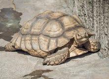 Африканское пришпоренное sulcata Centrochelys черепахи Стоковое Изображение RF