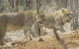 африканское сафари стоковое фото rf