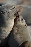 африканское уплотнение щенка мати шерсти южное Стоковое фото RF
