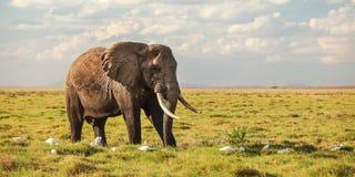 Африканское africana Loxodonta слона куста идя в низкую траву саванны, белые птиц цапли на своих ногах Широкое знамя, сафари стоковое фото rf
