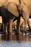 Африканское africana Loxodonta слона куста табун слонов Стоковое Изображение RF