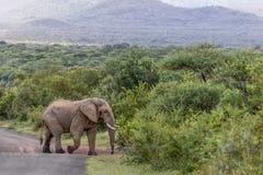 Африканское africana Loxodonta слона куста Стоковые Фотографии RF