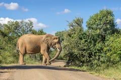 Африканское africana Loxodonta слона куста Стоковая Фотография