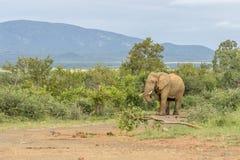 Африканское africana Loxodonta слона куста Стоковое фото RF