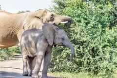 Африканское africana Loxodonta слона куста Стоковое Изображение