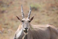 африканское eland антилопы Стоковые Фото