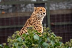 Африканское jubatus Acinonyx гепарда Кот в среду обитания природы стоковые фотографии rf