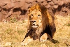 Африканское Lion-1 Стоковое фото RF
