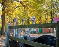 Африканское Ostrichs на ферме Стоковое Изображение