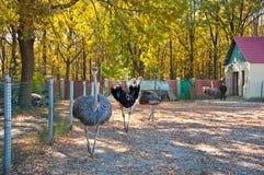 Африканское Ostrichs на ферме Стоковые Изображения