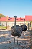 Африканское Ostrichs на ферме Стоковые Фото