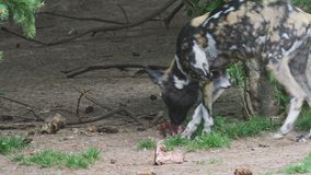 Африканское pictus Lycaon дикой собаки сток-видео