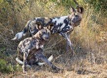 Африканское pictus Lycaon дикой собаки Стоковая Фотография