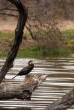 Африканское rufa американской змеешейки змеешейки садясь на насест на стволе дерева надводном, Южной Африке Стоковая Фотография RF