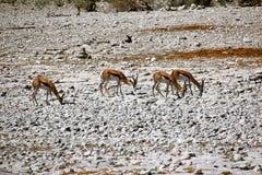 Африканское springbock антилопы Стоковые Изображения