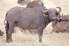 африканское syncerus caffer буйвола Стоковое Изображение