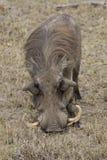Африканское warthog есть траву Стоковые Изображения RF