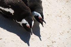 Африка закрывает вверх стороны 2 пингвинов лежа - мимо - бортовая близко накидка к Стоковое Фото