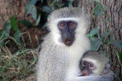 Африка как pygerythrus обезьяны chlorocebus cercopithecidae известное семьей родное старое просто иногда к vervet которое мир стоковое изображение