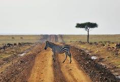 Африка Кения, зебра, животное Mara Masai, дорога, дерево, национальный парк, скрещивание, Стоковые Фотографии RF