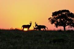 Африка красное Hartebeest на восходе солнца ADDO p стоковые изображения rf