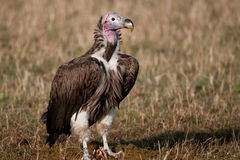 Африка подперла белизну хищника Кении Стоковое фото RF