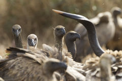 Африка подперла южные хищников белые стоковая фотография