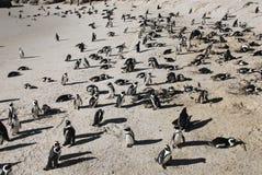 Африка - сотни пингвинов гнездясь в Южной Африке Стоковое Изображение