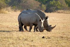 Африка - Южная Африка - парк Kruger Стоковые Фотографии RF