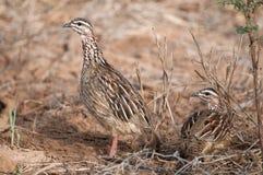 Африка crested пары Кении francolin Стоковая Фотография RF