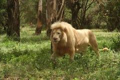 Африки льва белизна на юг Стоковая Фотография RF