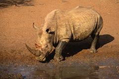 Африки rhinoceros белизна на юг стоковые изображения rf