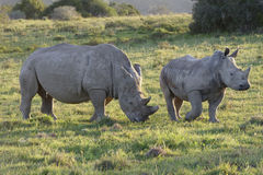 Африки rhinoceros белизна на юг Стоковое Фото