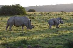 Африки rhinoceros белизна на юг Стоковая Фотография