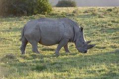 Африки rhinoceros белизна на юг Стоковые Фото