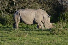 Африки rhinoceros белизна на юг Стоковые Изображения